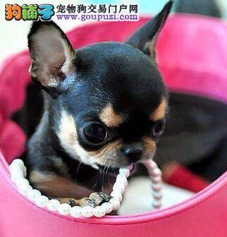 南京正规犬舍出售苹果脑袋非常可爱吉娃娃幼犬 签协议