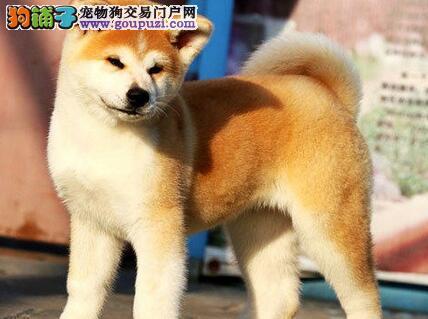 毛色纯正身体健康的秋田犬热卖中 仅限苏州的朋友选购