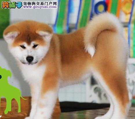 日系极品纯种秋田犬优惠价格出售 泉州周边可免运费