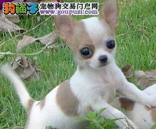精品纯种吉娃娃犬纯种健康专业狗场繁殖签协议