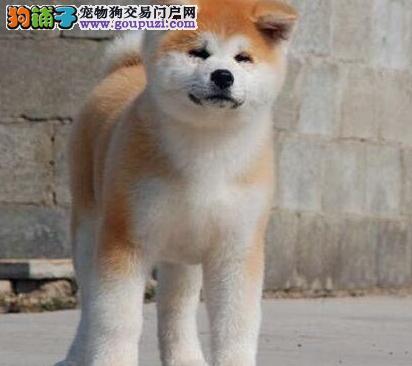 身体健康骨骼健硕的兰州秋田犬找新家 签订购犬协议