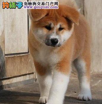 西宁正规犬舍低价出售纯种健康的秋田犬 纯日系血统