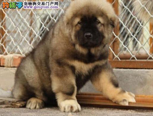 出售纯种熊版大头版大骨架好毛量高加索幼犬