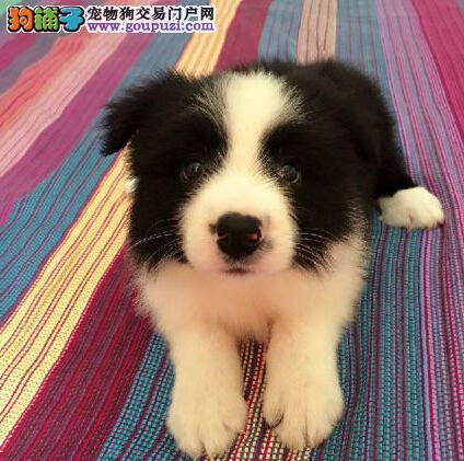 上海家养纯种边境牧羊犬低价转让 冠军级血系有防疫证