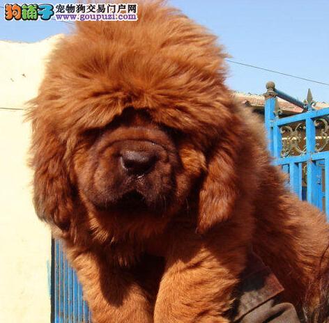 大狮头藏獒 异常凶猛 武汉半价直销中 签协议可看狗