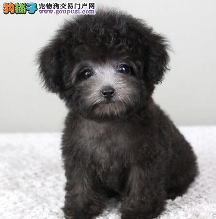 实物拍摄的重庆泰迪犬找新主人优惠出售中狗贩子勿扰