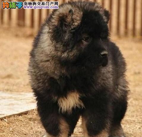 咸阳知名犬舍出售多只赛级高加索微信看狗可见父母