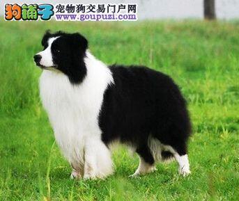 健康纯种七白到位广州边境牧羊犬出售中 可接受预定