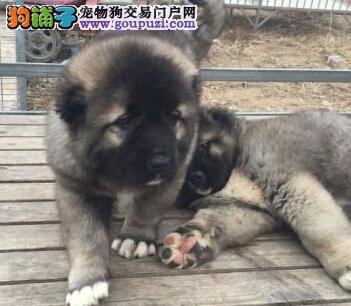 专业基地繁殖狗场直销超可爱 保健康高加索宝宝出售!