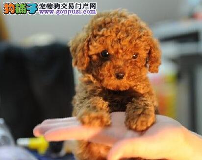 犬舍直销品种纯正健康成都贵宾犬冠军级血统品质保障