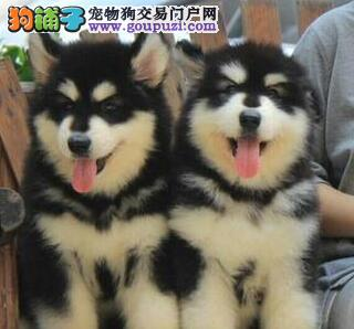出售大庆阿拉斯加雪橇犬血统纯正品质高有证书