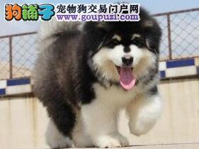 火爆出售齐齐哈尔阿拉斯加雪橇犬熊版毛量足