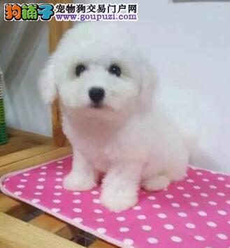 南京血统纯正高品质的优良比熊幼犬