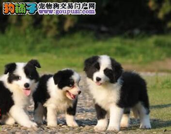 多只精品七白边境牧羊犬低价出售 上海地区可送狗上门