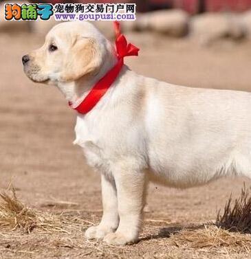 拉萨养殖基地繁殖出售精品拉布拉多犬 价格很优惠