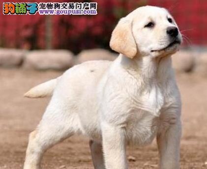 骨量极佳的昆明拉布拉多犬找新家 欢迎前来挑选