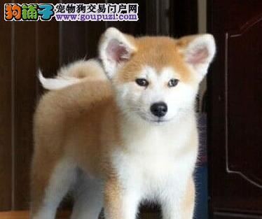 转让极品日系拉萨秋田犬 可签署售后保证协议保品质