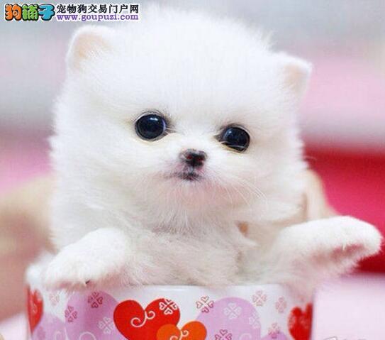 直销价格出售纯种哈多利版拉萨博美犬 身体健康有证书