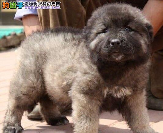 出售纯种高加索幼犬品质健康有保证