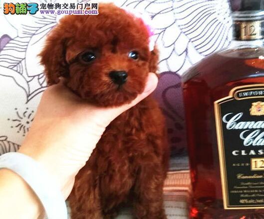 出售可爱纯种韩系泰迪犬 上海周边地区可免费包邮