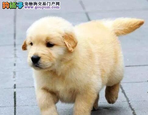 金灿灿的黄金色金毛犬找新主人 海口市内免费送货上门