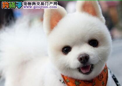 出售俊介血系哈多利球形血系的海口博美犬 请放心选购