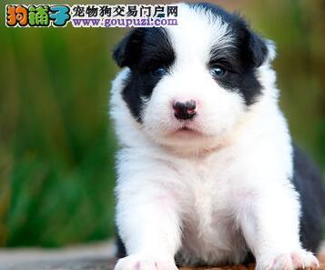 热销多只优秀的纯种鹤岗边境牧羊犬签订协议包细小犬瘟热
