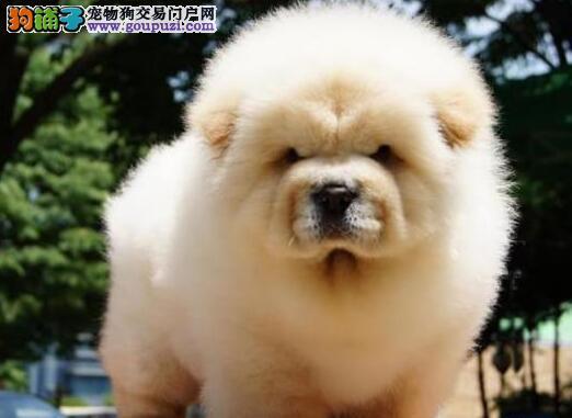 极品美系松狮犬幼犬三个月小松狮待售中 终身保障
