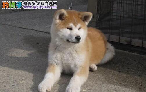 出售纯种健康的秋田犬幼犬终身售后协议