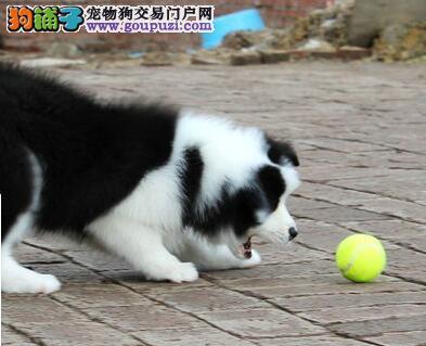 精品七白到位边境牧羊犬特价直销 惠州地区有实地店