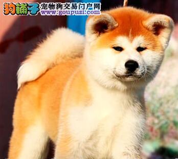 自家狗场繁殖直销秋田犬幼犬微信看狗可见父母