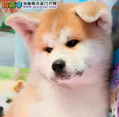 高品质日系秋田犬找爸爸妈妈 温州的朋友上门看狗