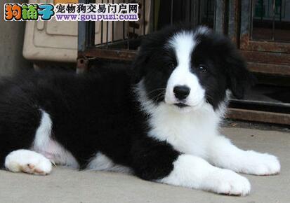 特价出售精品天津边境牧羊犬 颜色全品质优秀多只可选