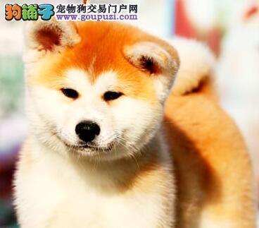 金华正规狗场犬舍直销秋田犬幼犬签订协议包细小犬瘟热