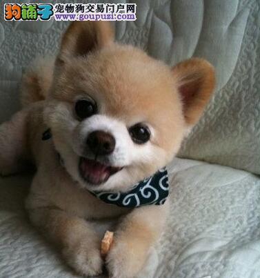 直销纯种优秀博美犬已做疫苗惠州周边地区可免费送狗