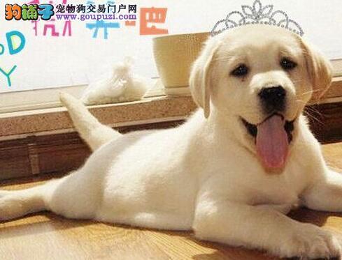 洛阳正规繁殖出售大骨架拉布拉多犬 签订纯正活体协议
