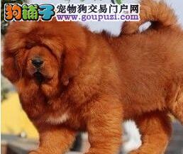 出售纯种健康的藏獒幼犬品质血统售后均有保障