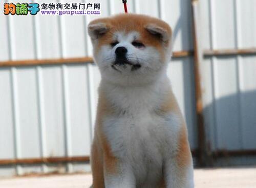 兰州养殖基地出售日系秋田犬 品相极佳血统纯保证售后
