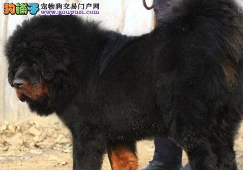 太原犬舍出售大狮子头完美品相的藏獒幼崽 非诚勿扰