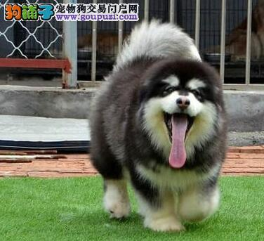 红色阿拉斯加雪橇犬 黑白阿拉斯加犬 阿拉斯加雪橇犬
