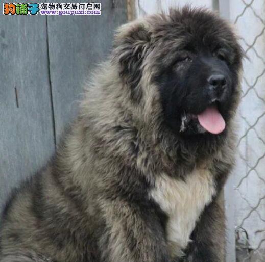 兰州大型狗场直销巨型熊版血系高加索犬 签订购犬协议