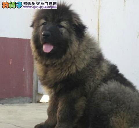 杭州狗场出售狼青色品相极佳的高加索犬 疫苗驱虫齐全
