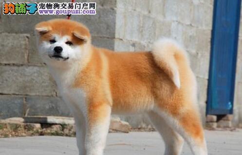 和平知名犬舍低价出售日系秋田犬 请大家放心选购幼犬