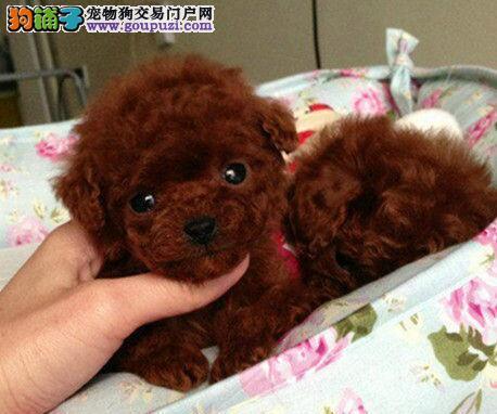 直销泰迪犬幼犬,品质极佳品相超好,微信咨询看狗