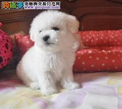 棉花糖,纽扣眼 超级可爱的法国卷毛比熊狗狗