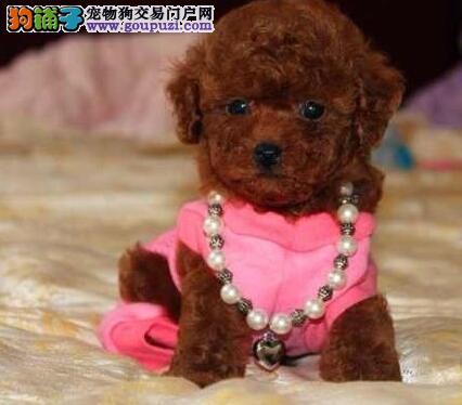 厦门最大犬舍出售多种颜色泰迪犬终身完善售后服务