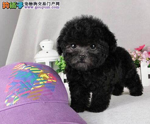 可爱活泼的小泰迪犬找爸爸妈妈 仅限东莞的朋友选购