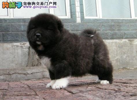 遵义市出售高加索犬 已打疫苗 可视频看狗 可上门挑选