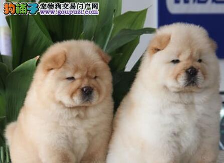 昆明实体店面出售松狮犬 公母均有 信誉和品质有保证
