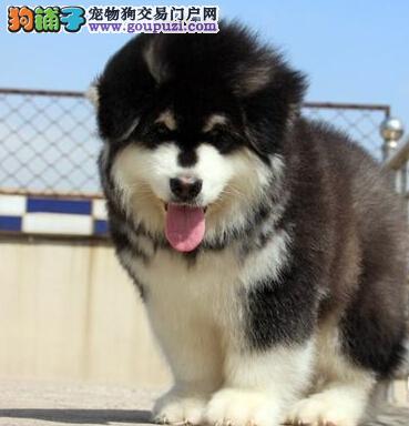 出售霸气十足绝对拉风的保定高品质阿拉斯加幼犬